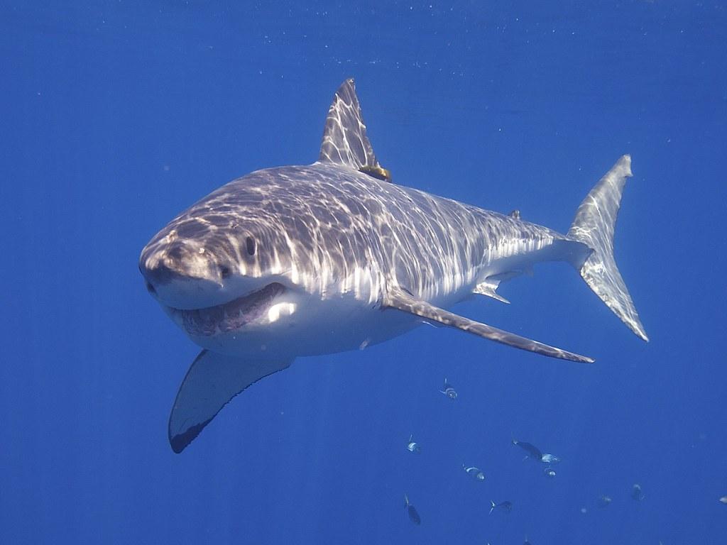 care este vederea rechinilor