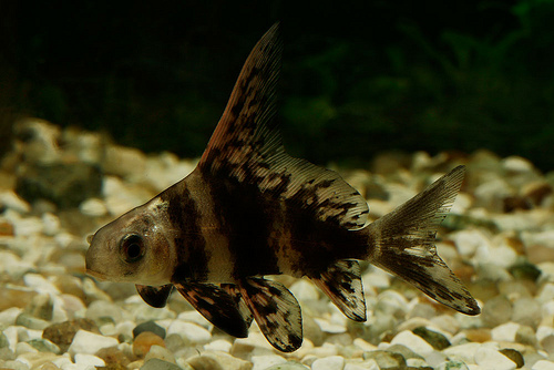 Peștele Myxocyprinus asiaticus, Foto: lazy-lizard-tales.blogspot.ro