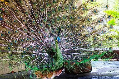 Păunul verde sau păunul imperial, specia Pavo muticus, Foto: apus.ru