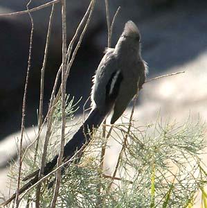 Pasărea-șoarece cu spatele alb, Foto: mangoverde.com