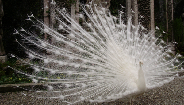 Paunul alb cu coada rasfirata, Foto: sampaikini.com