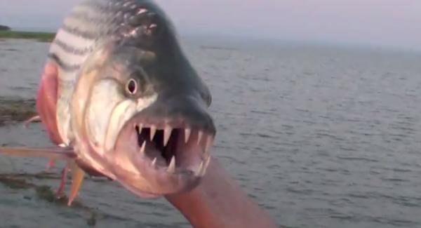Peștele-tigru