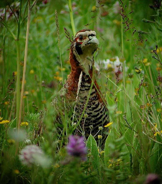Potârnichea tibetană, Specia Perdix hodgsoniae sifanica, Foto: birdphotodatabase.16mb.com