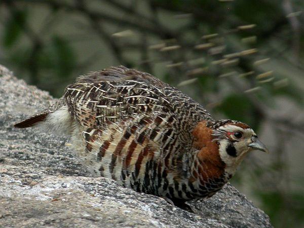 Potârnichea tibetană, Specia Perdix hodgsoniae, Foto: birdphotodatabase.16mb.com