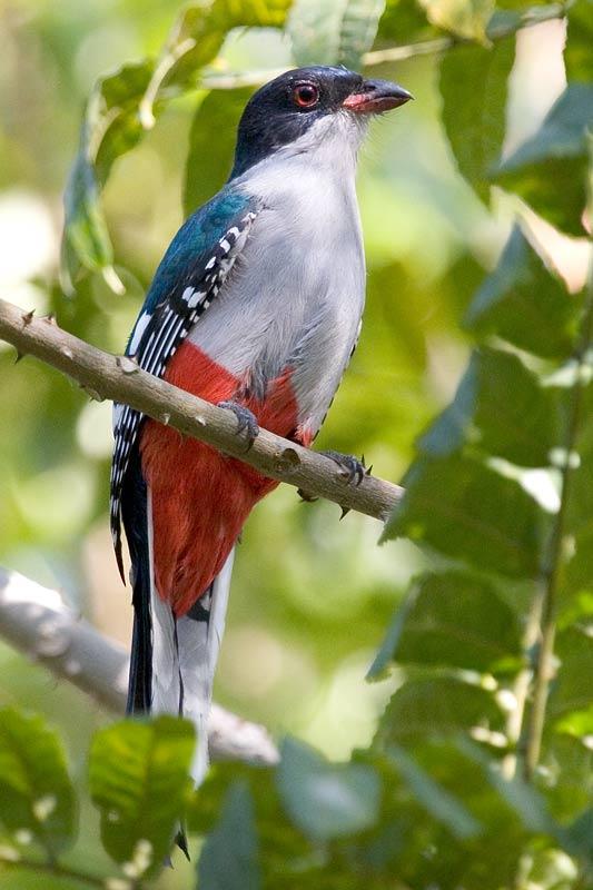 Priotelus temnurus, Foto: arthurgrosset.com