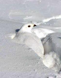 Specia Lagopus mutus sapă galerii în zăpadă, Foto: amarblog.com