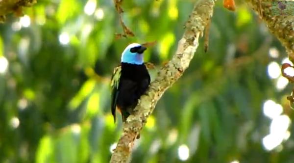 Tanagerul cu gat albastru din America de Sud