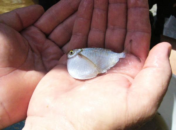 Peștele-topor cu aripioare pătate, Specia Thoracocharax stellatus, Foto: amor.cms.hu-berlin.de
