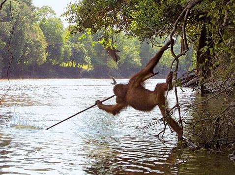 Urangutan care lovește cu o suliță ceva în apă, Foto: scisne.net