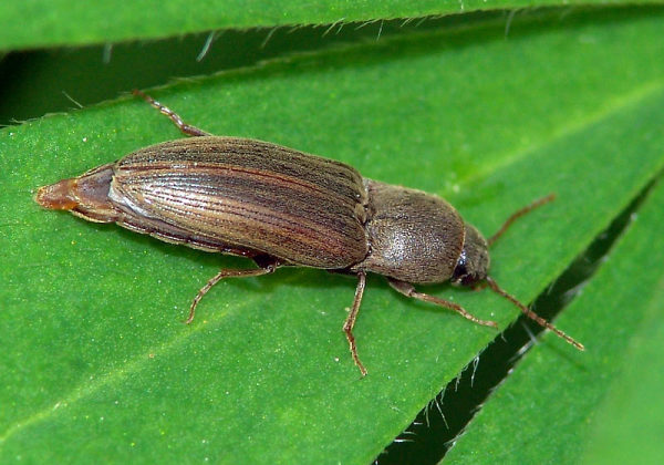 Gândacul pocnitor, specia Agriotes lineatus, Foto: zin.ru