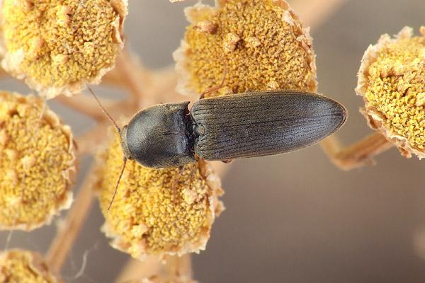 Specia Agriotes ustulatus, Foto: buprestidae.blogspot.ro