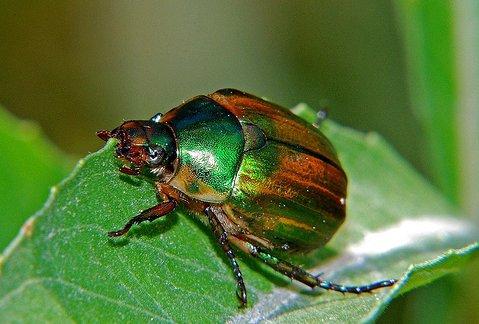 Cărăbușul verde al viței - specia Anomala solida, Foto: doctorulplantei.files.wordpress.com