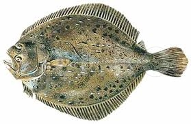 Calcanul-Scophthalmus-maximus.jpg