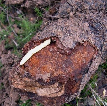 Capnodis tenebrionis, Larva, Foto: jardin-mundani.es
