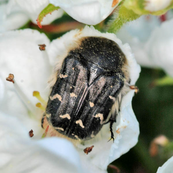Gândacul păros, specia Epicometis birta, Foto: xespok.net