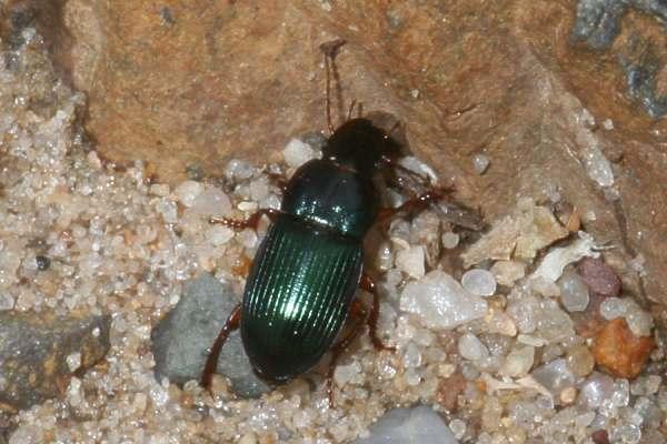 Gândacul semințelor - Harpalus distinguendus, Foto: insektenbox.de