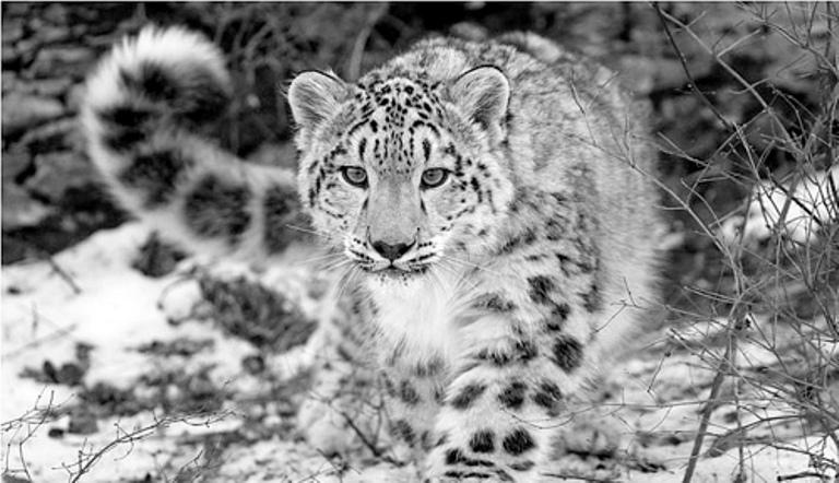 Leopardul de zapada