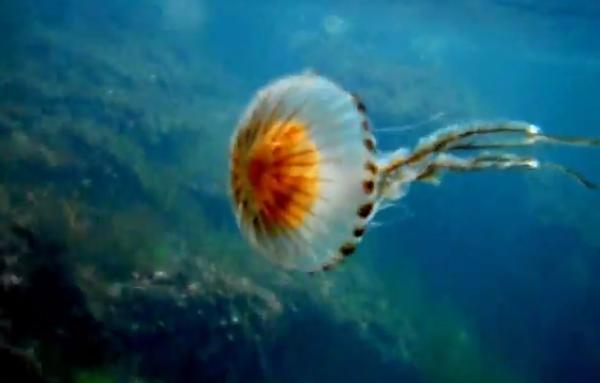 Meduza Chrysaora hysoscella