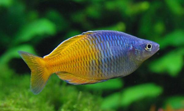 Melanotaenia boesemani, Foto: aquarium.stinglifestyle.com