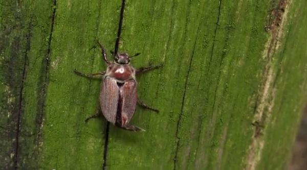 Cărăbușul de pădure, specia Melolontha hippocastani