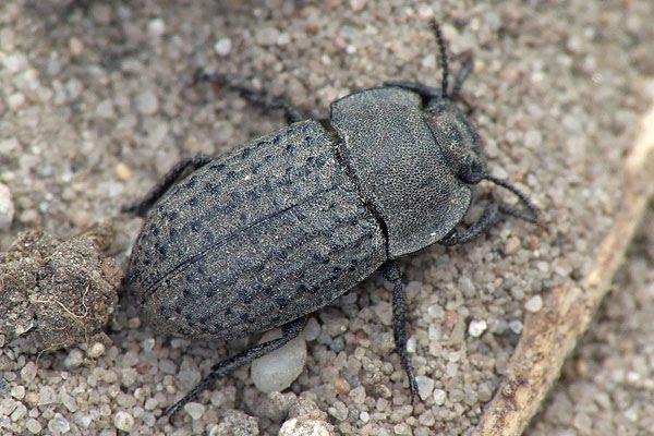 Gândacul pământiu , specia Opatrum sabulosum, Foto: buprestidae.blogspot.ro