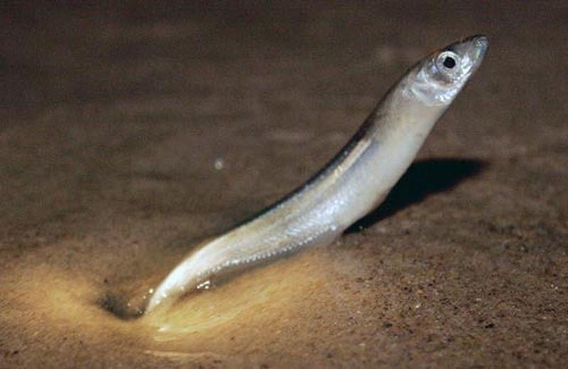 Peștele Aterina de California, Leuresthes tenuis