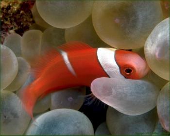 Peștele-clovn tomată, Foto: reef-guardian.com