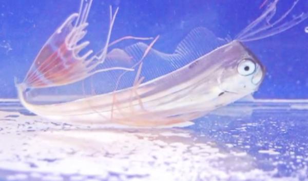 Peștele-coasă