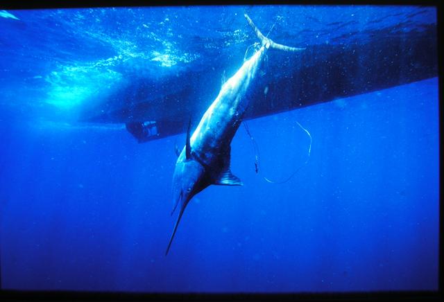 Peștele-spadă