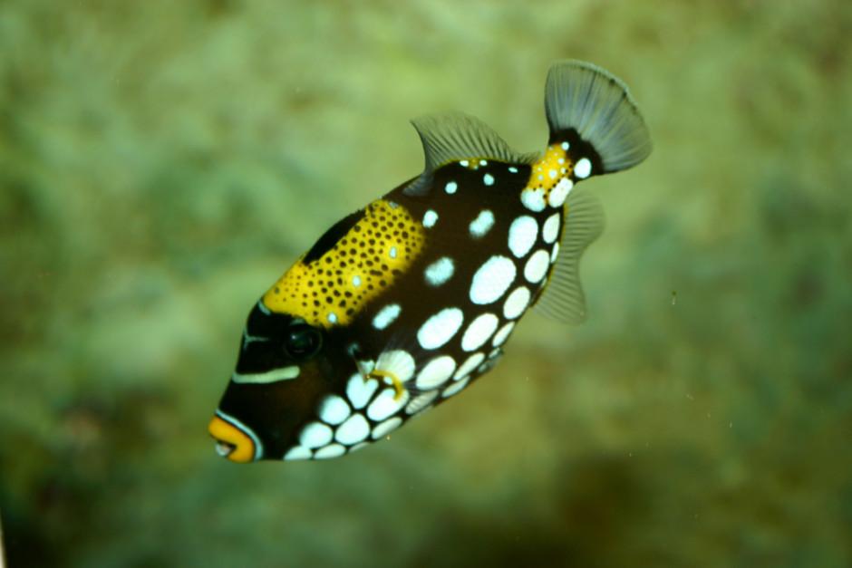 Peștele-trăgaci clovn