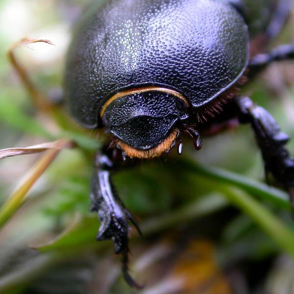 Gândacul negru al porumbului - specia Pentodon idiota, Foto: xespok.net