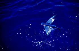 Pestele-zburator-de-Atlantic-Cypselurus-heterurus.jpg
