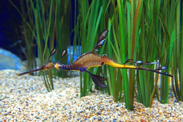 Phyllopteryx taeniolatus, Foto: seahorseworlds.com