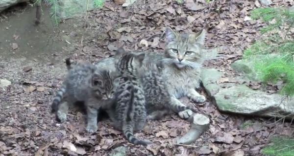 Pisica sălbatică, specia Felix silvestris