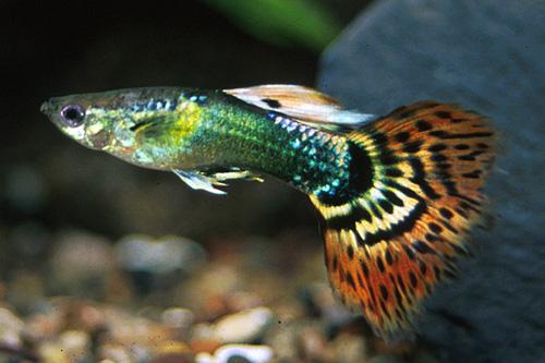 Poecilia reticulata, Foto: segrestfarms.com