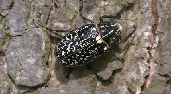 Cărăbușul marmorat, specia Polyphylla fullo