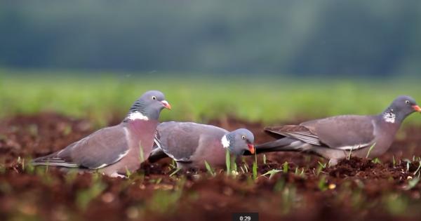 Porumbelul de scorbură sau porumbelul gulerat, specia Columba palumbus