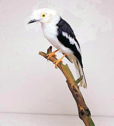 Sfrânciocul cu creastă albă, Foto: wildabouttheworld.com