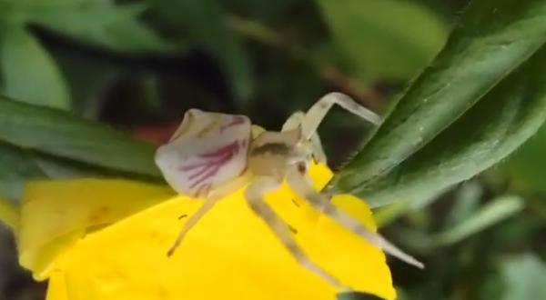 Specia Onustus Thomisus albicios cu pete