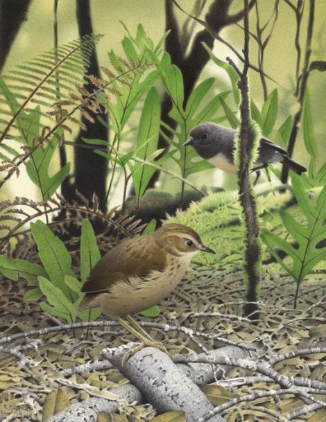 Specia Pachyplichas yaldwyni, Foto: nzbirdsonline.org.nz