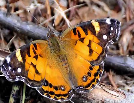 Specia Vanessa Virginiensis