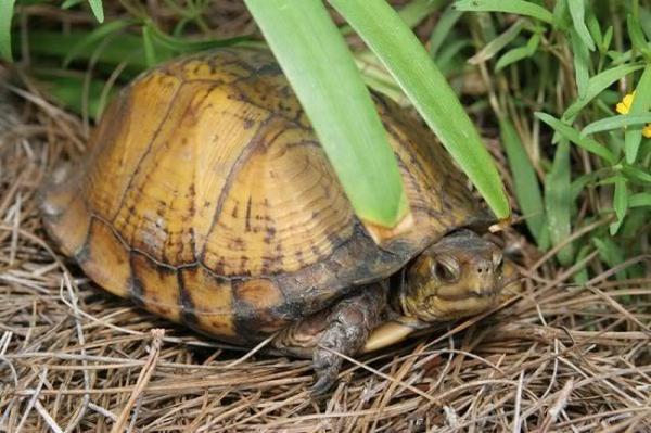 Terrapene carolina putnami, Foto: schildpaddenforum.net