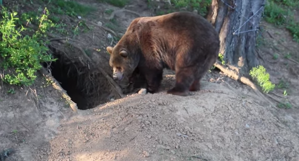 Ursul brun la vizuină, specia Ursus arctos L.