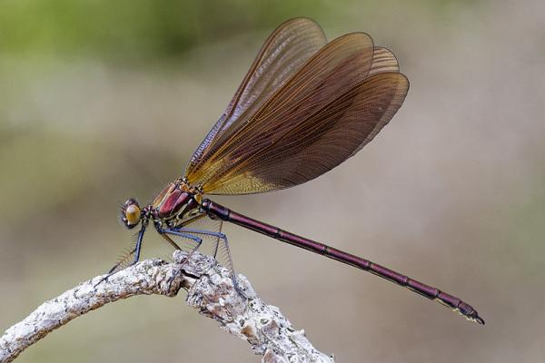 Calopteryx haemorrhoidalis, Foto: juanantoniotovar.blogspot.ro