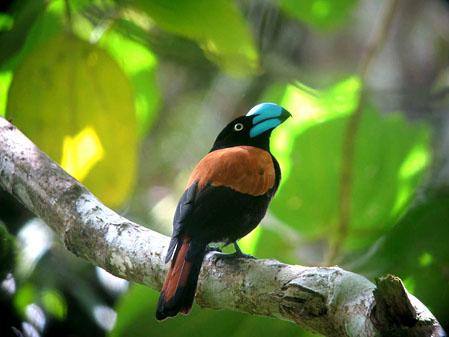Euryceros prevostii, Foto: tropicalbirding.com