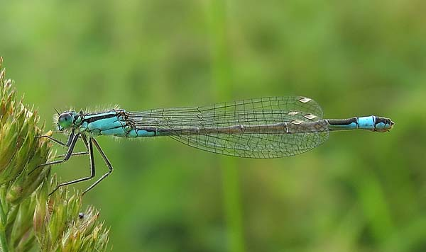Ischnura elegans, Fotografie David Kitching, Foto: brocross.com