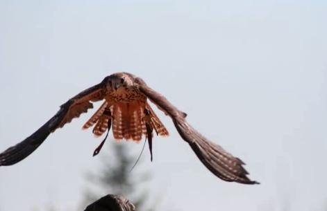 Șoimul dunărean - Falco cherrug
