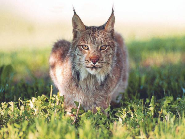 Rasul carpatin (Lynx lynx), Foto: wallpaper-free-download.com