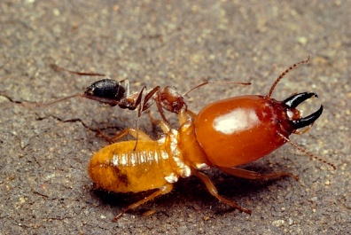 Furnica Anoplolepis custodies atacă termita soldat Macrotermes bellicosus, Foto: m.inmagine.com