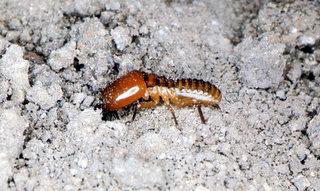Tremite din genul Macrotermes, Foto: phuonghoanghcmc.files.wordpress.com